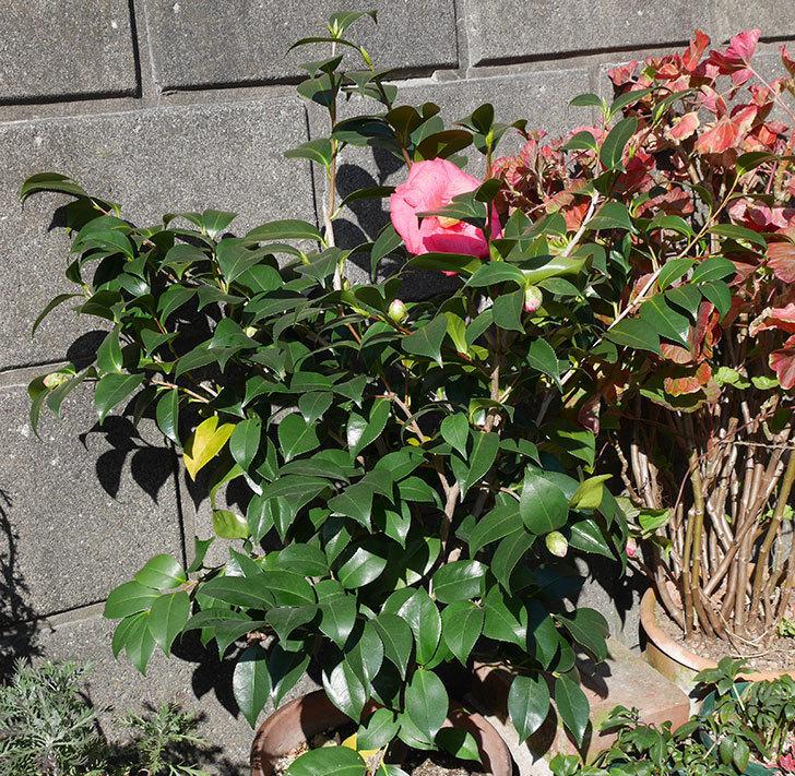 鉢植えのツバキに大輪の花が1個咲いた。2018年-6.jpg