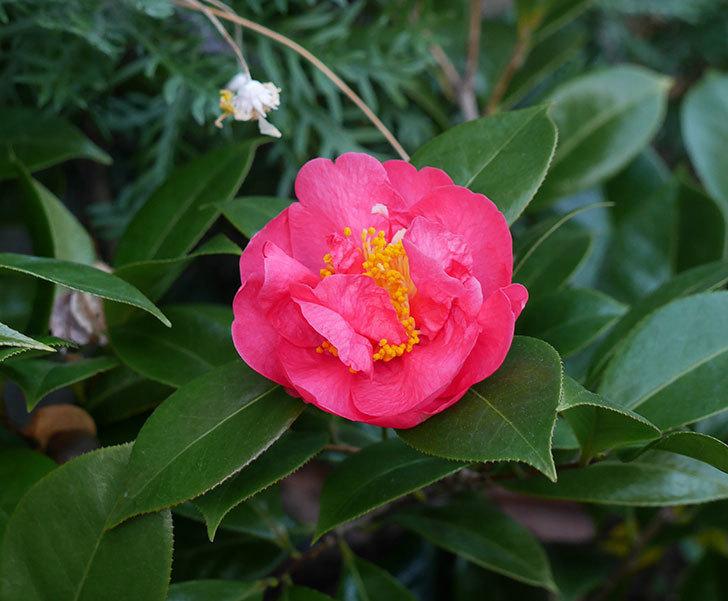 鉢植えのツバキの花が1個咲いた。2018年-1.jpg