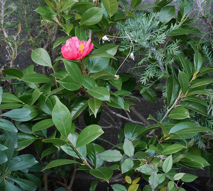 鉢植えのツバキの花が1個咲いた。2018年-3.jpg