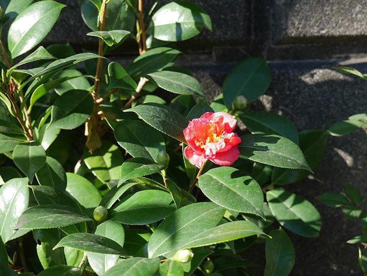 鉢植えのツバキの花が咲いた。2018年-2.jpg
