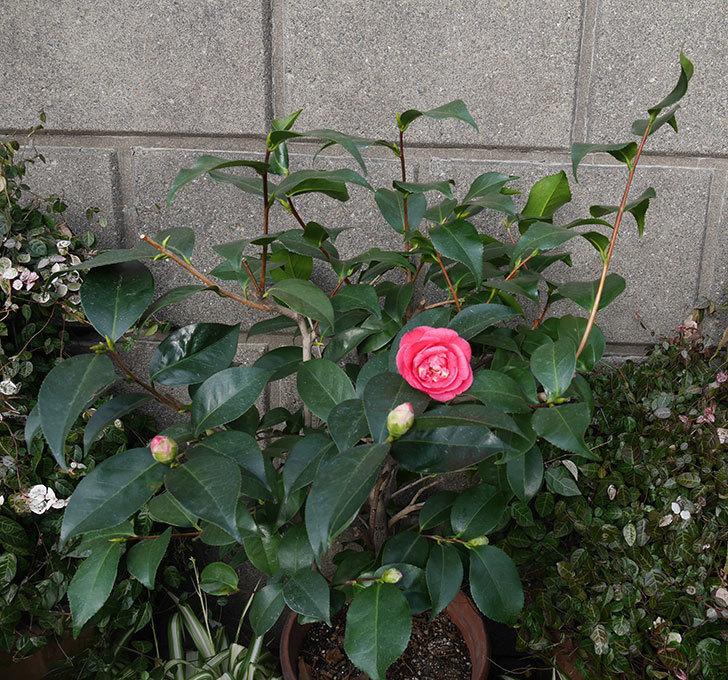 鉢植えのツバキの花が咲いた。2020年-3.jpg