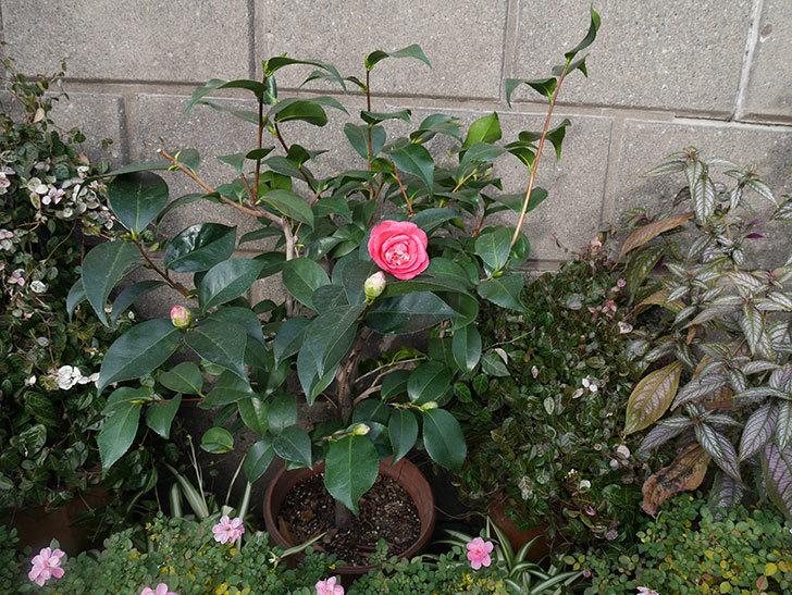 鉢植えのツバキの花が咲いた。2020年-4.jpg
