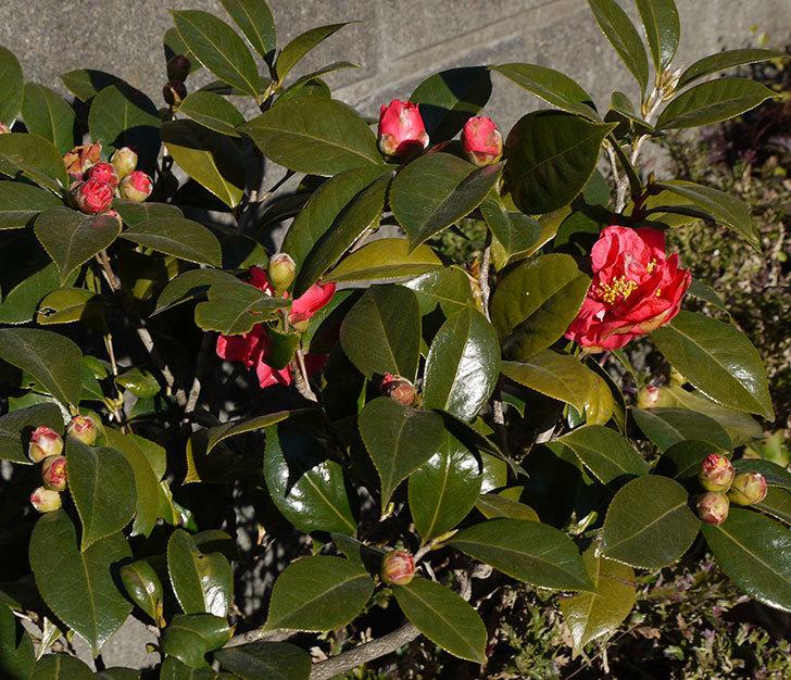 鉢植えのツバキの花が咲きだした。2017年-1.jpg