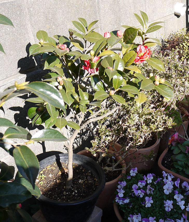鉢植えのツバキの花が咲きだした。2017年-3.jpg