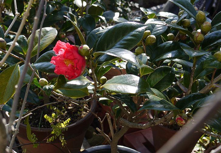 鉢植えのツバキの花が咲き始めた。2016年-1.jpg
