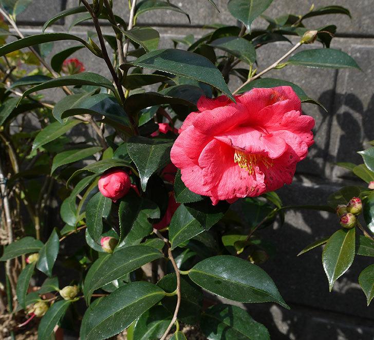 鉢植えのツバキの花が増えてきた。2017年-1.jpg