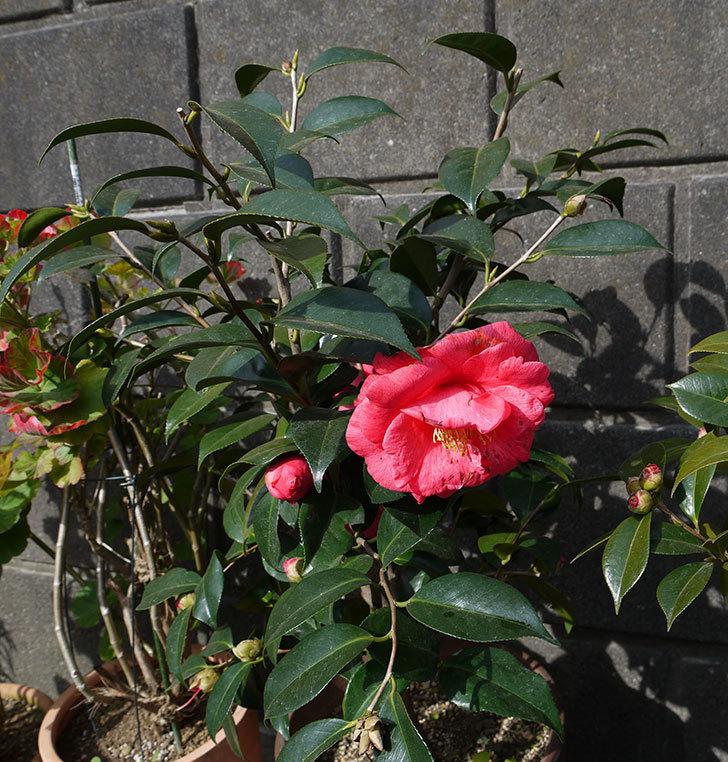 鉢植えのツバキの花が増えてきた。2017年-3.jpg