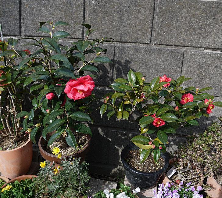 鉢植えのツバキの花が増えてきた。2017年-6.jpg