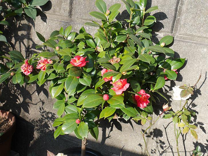 鉢植えのツバキの花が増えてきた。2019年-5.jpg