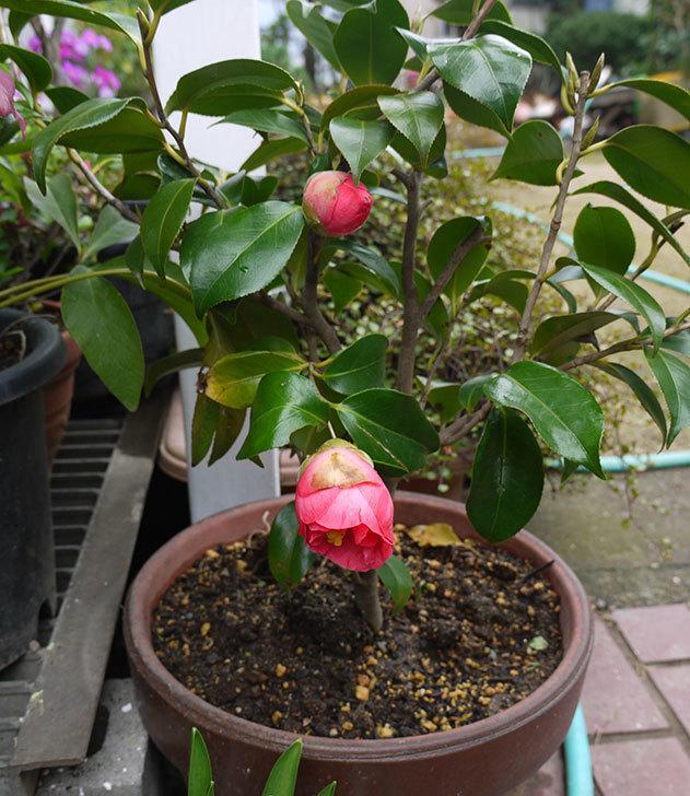 鉢植えのツバキの蕾が開いてきた3.jpg