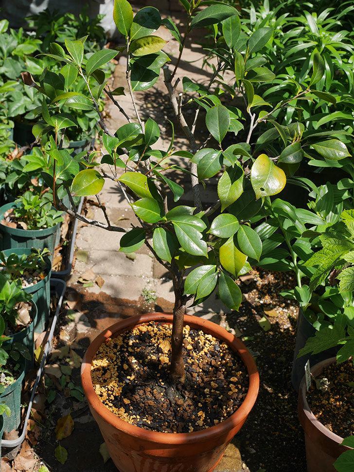 鉢植えのツバキを剪定して植え替えた。2020年-1.jpg