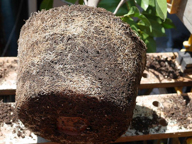 鉢植えのツバキを剪定して植え替えた。2020年-11.jpg