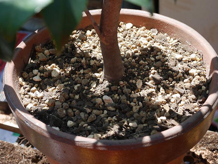 鉢植えのツバキを剪定して植え替えた。2020年-16.jpg