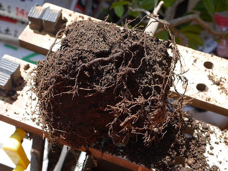 鉢植えのツバキを剪定して植え替えた。2020年-5.jpg