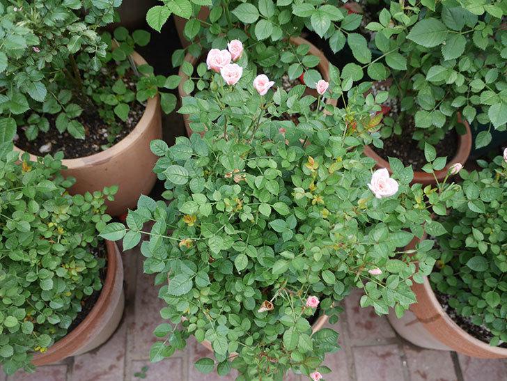 鉢植えのバラにハダニが発生した。2019年-12.jpg