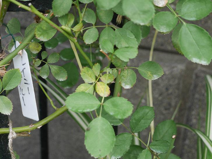 鉢植えのバラにハダニが発生した。2019年-13.jpg
