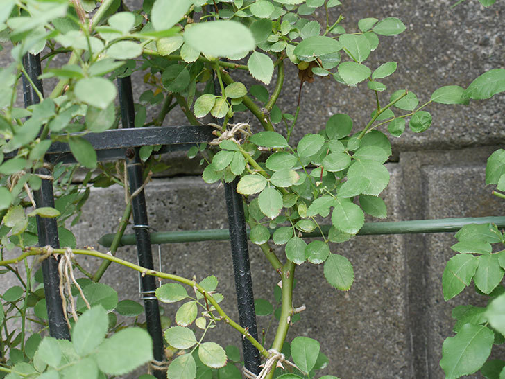 鉢植えのバラにハダニが発生した。2019年-16.jpg