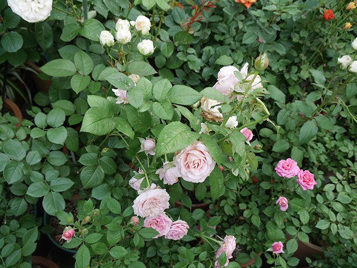 鉢植えのバラにハダニが発生した。2019年-7.jpg
