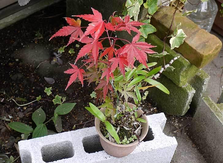 鉢植えのモミジが紅葉した。2014-1.jpg