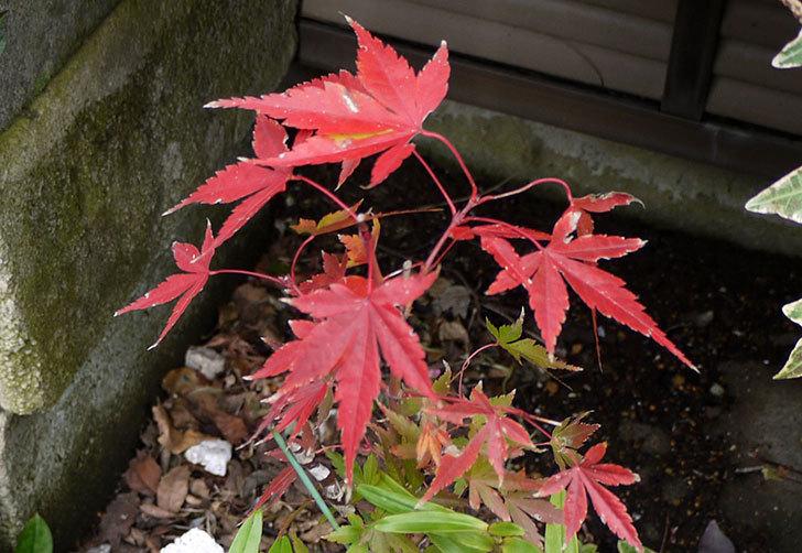 鉢植えのモミジが紅葉した。2014-2.jpg