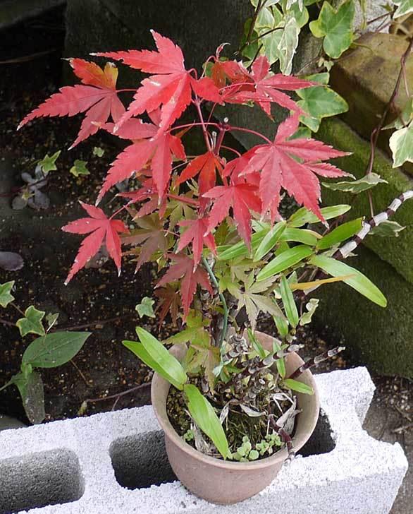 鉢植えのモミジが紅葉した。2014-3.jpg