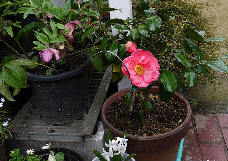 鉢植えの大輪のツバキが咲いた2.jpg
