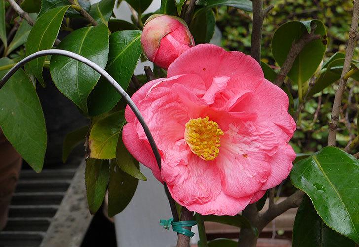 鉢植えの大輪のツバキが咲いた3.jpg