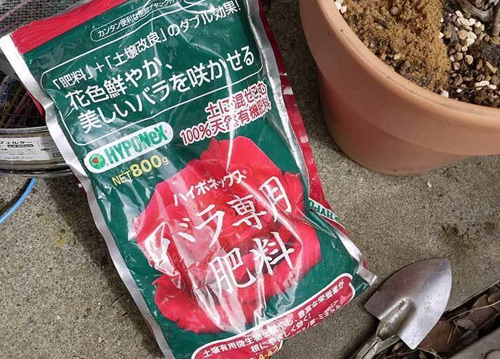 鉢植えの木立バラに肥料をやった7.jpg