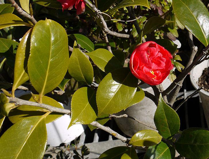 鉢植えの赤いツバキが咲いた1.jpg