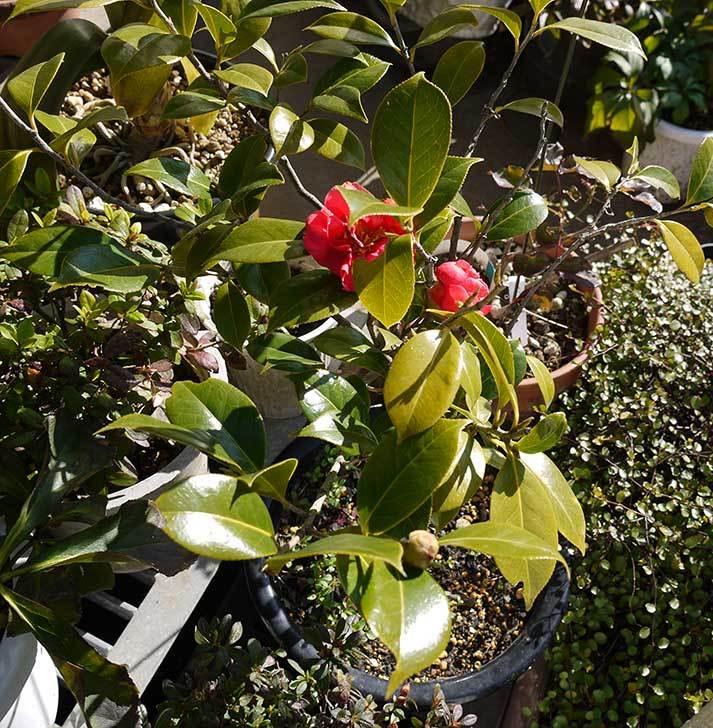 鉢植えの赤いツバキが咲いた2.jpg