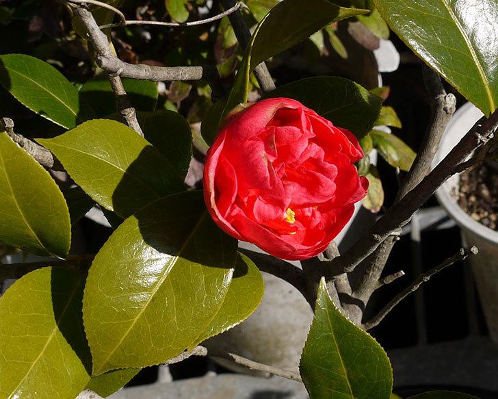 鉢植えの赤いツバキが咲いた3.jpg