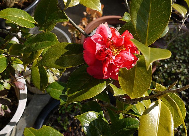 鉢植えの赤いツバキが咲いた4.jpg
