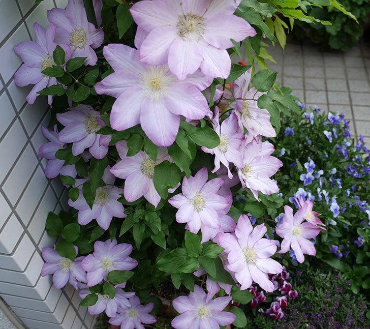 阿吹(アブキ)の花が今日もたくさん咲いている。2018年-1.jpg