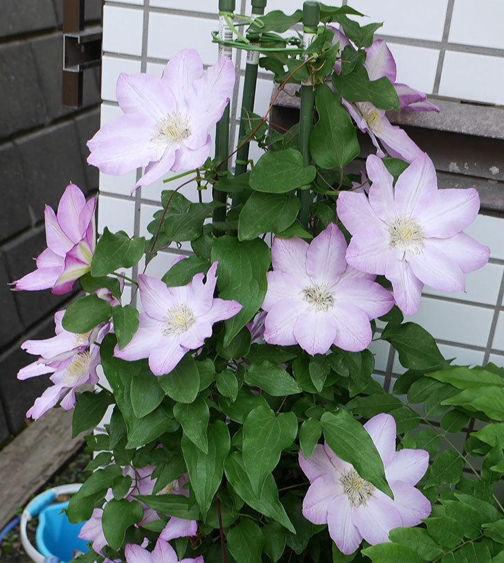 阿吹(アブキ)の花が今日もたくさん咲いている。2018年-2.jpg