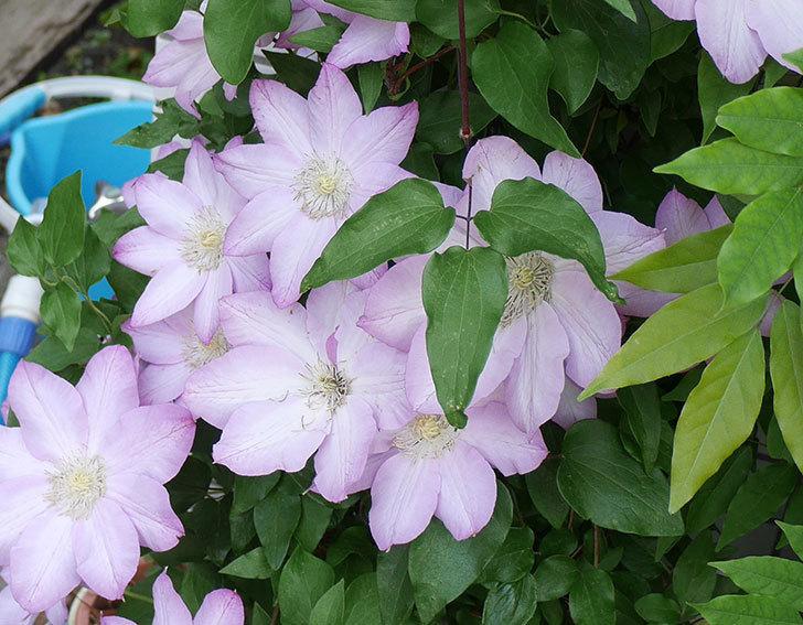 阿吹(アブキ)の花が今日もたくさん咲いている。2018年-3.jpg