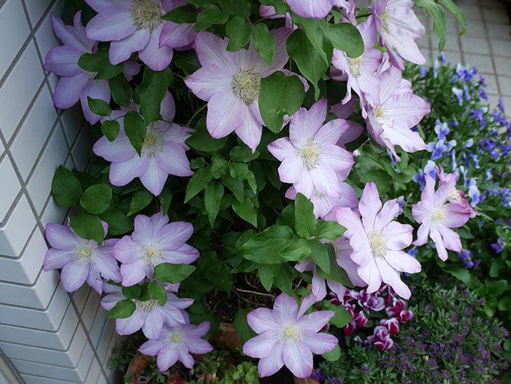 阿吹(アブキ)の花が今日もたくさん咲いている。2018年-4.jpg