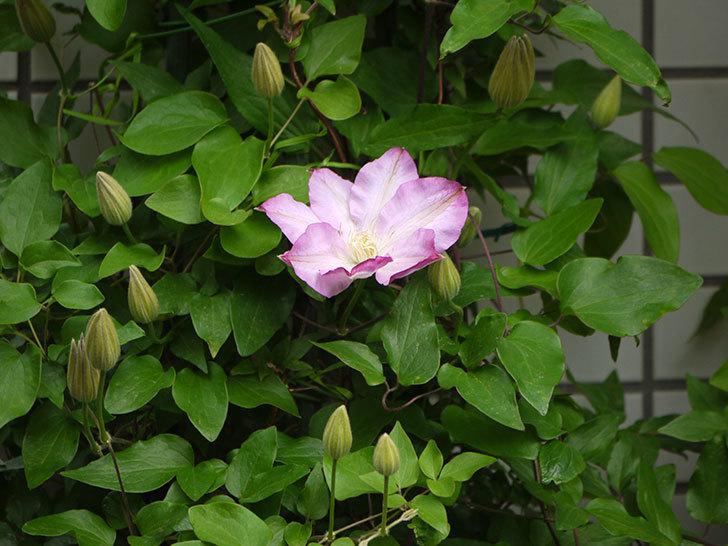 阿吹(アブキ)の花が綺麗に開いて咲いた。2018年-11.jpg