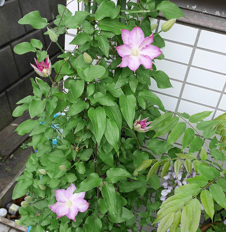 阿吹(アブキ)の花が綺麗に開いて咲いた。2018年-7.jpg