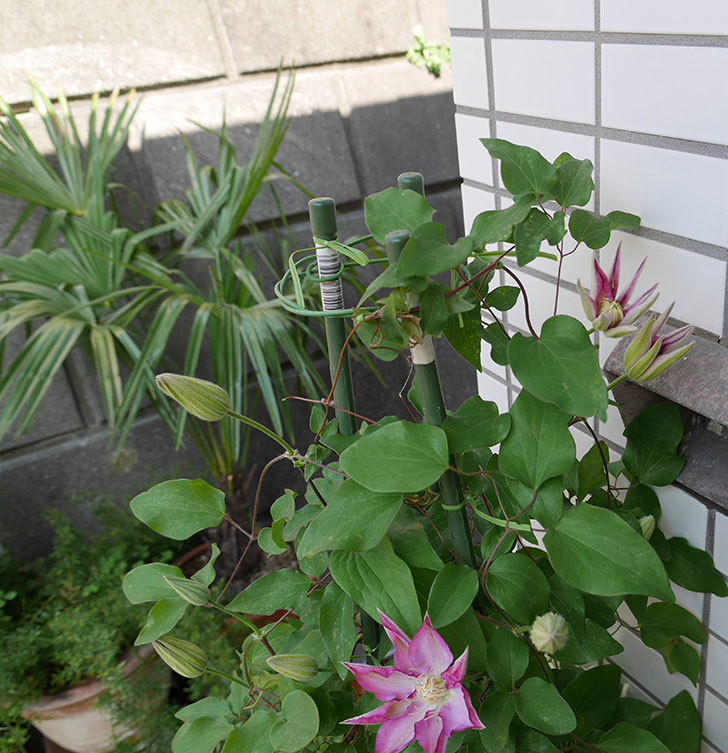 阿吹(アブキ)(早咲き大輪系-パテンス系 新・旧両枝咲き)が咲いた。2018年-5.jpg
