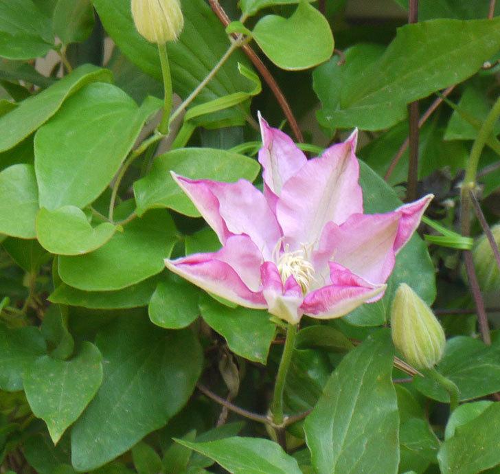 阿吹(アブキ)(早咲き大輪系-パテンス系 新・旧両枝咲き)が咲いた。2018年-9.jpg