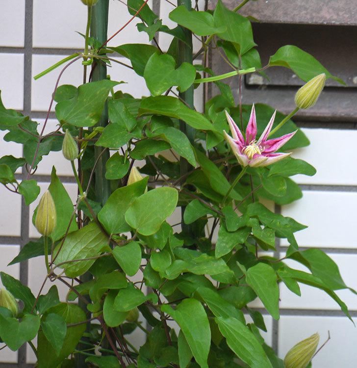 阿吹(アブキ)(早咲き大輪系-パテンス系 新・旧両枝咲き)の蕾が開いた。2018年-6.jpg