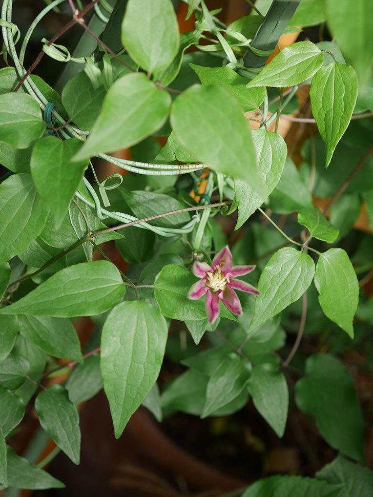 阿吹(アブキ)(早咲き大輪系 パテンス系 新・旧両枝咲き)の花が咲きだした。2021年-001.jpg
