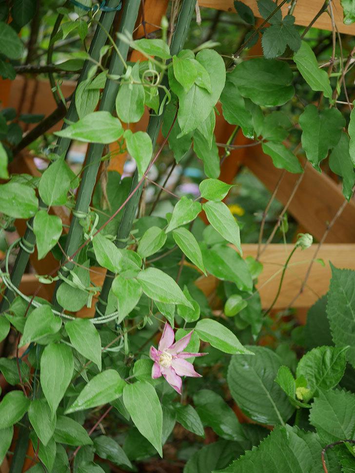 阿吹(アブキ)(早咲き大輪系 パテンス系 新・旧両枝咲き)の花が咲きだした。2021年-004.jpg