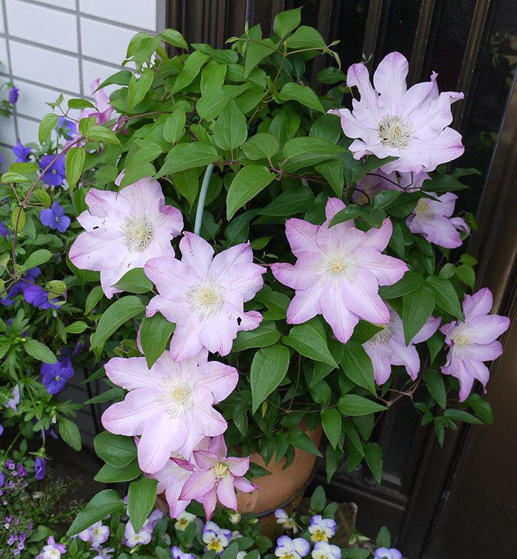 阿吹(アブキ)(早咲き大輪系パテンス系 新・旧両枝咲き)が満開になった。2017年-1.jpg