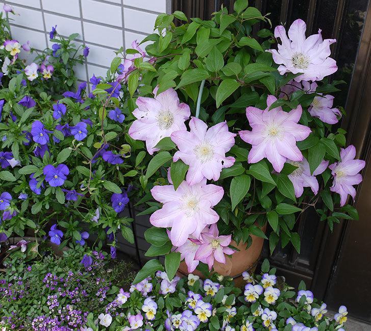 阿吹(アブキ)(早咲き大輪系パテンス系 新・旧両枝咲き)が満開になった。2017年-3.jpg