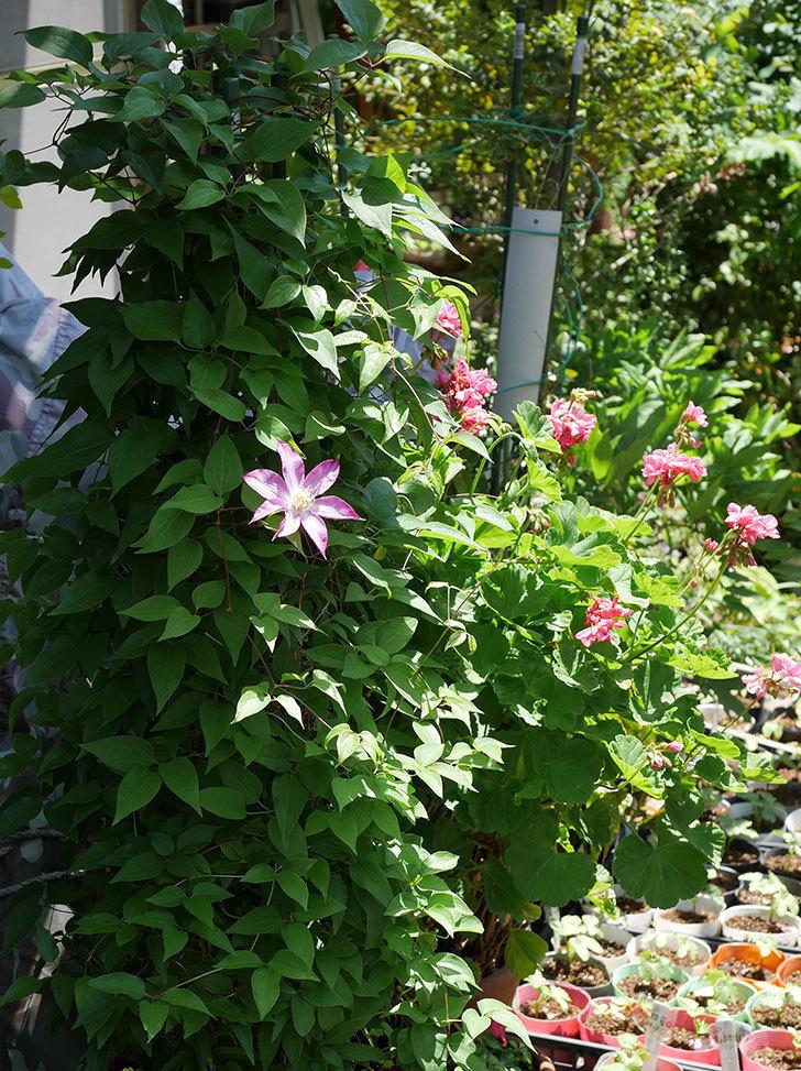 阿吹(アブキ)(早咲き大輪系パテンス系 新・旧両枝咲き)の花がまた咲いた。2019年-3.jpg