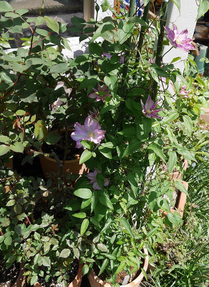 阿吹(アブキ)(早咲き大輪系パテンス系 新・旧両枝咲き)の花が咲いた。2019年-10.jpg