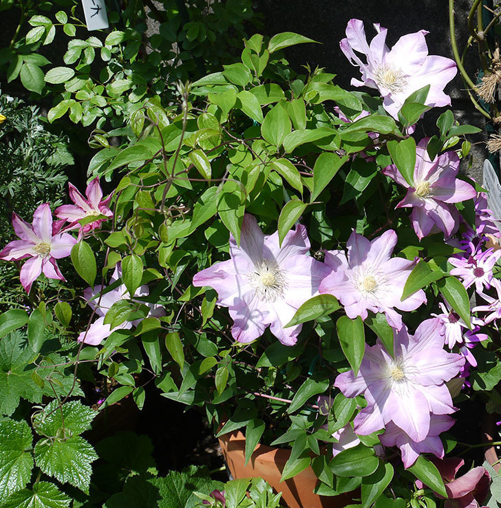 阿吹(アブキ)(早咲き大輪系パテンス系 新・旧両枝咲き)の花が増えてきた。2017年-1.jpg