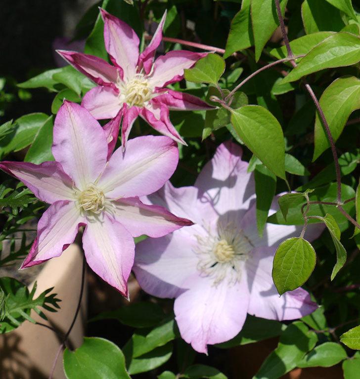 阿吹(アブキ)(早咲き大輪系パテンス系 新・旧両枝咲き)の花が増えてきた。2017年-4.jpg