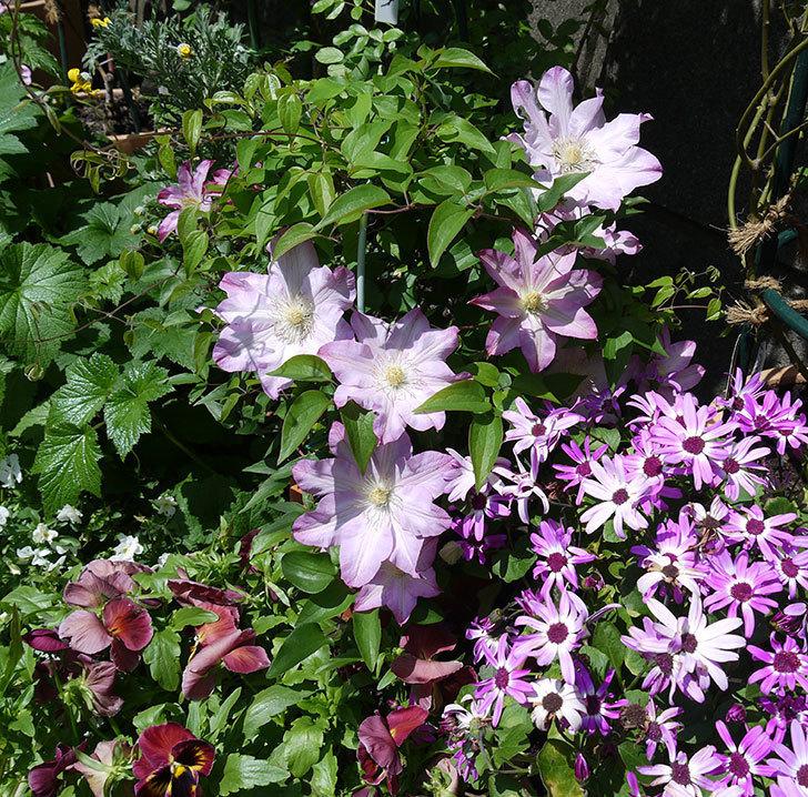 阿吹(アブキ)(早咲き大輪系パテンス系 新・旧両枝咲き)の花が増えてきた。2017年-6.jpg